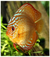 Discus   Ph. R.Allgayer